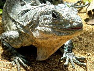 iguana-honduras